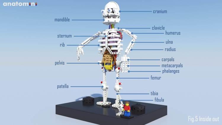 Lego Anatomini Anatomical Detail